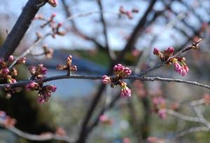 Sakura1203251